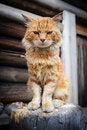 Free Red Serious Cat Stock Photos - 35492753