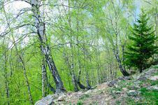 Free Fir With Birch Trees Stock Photography - 35490922