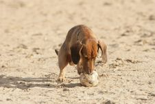 Free Dachshund With A Ball Royalty Free Stock Image - 3550656