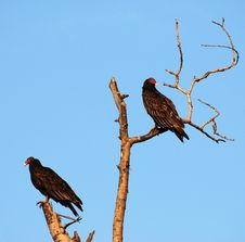 Free Turkey Vultures Royalty Free Stock Image - 3551526