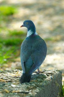 Free Wild Pigeon Stock Images - 3551854