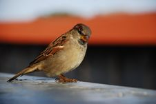 Free Estonian Sparrow Royalty Free Stock Image - 3551906