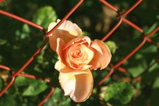 Free The Pink Rose Royalty Free Stock Images - 3553239