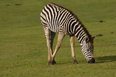 Free Young Zebra Grazing Royalty Free Stock Images - 3553469