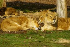 Free Lioness Sleeping Stock Images - 3553564