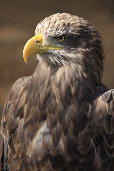Free Sea Eagle Royalty Free Stock Photos - 3553628