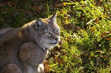 Free Expressive Lynx, Bobcat Stock Photography - 3553962