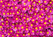 Free Purple Daisies Royalty Free Stock Image - 3554686