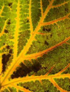 Free Autumn Leaf Stock Image - 3554701