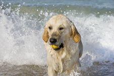 Free Dog Retrieving A Ball Stock Photo - 3555310