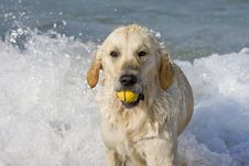 Free Dog Retrieving A Ball Royalty Free Stock Photo - 3555315