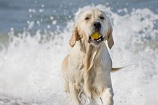 Free Dog Retrieving A Ball Royalty Free Stock Images - 3555389