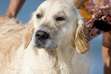 Free Golden Retriever Royalty Free Stock Photography - 3555437