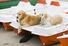 Free Two Golden Retrievers Royalty Free Stock Image - 3555446