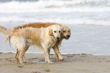 Free Two Golden Retrievers Royalty Free Stock Image - 3555516