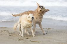 Free Two Golden Retrievers Stock Photos - 3555523