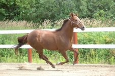A Quarter Horse Mare Stock Images