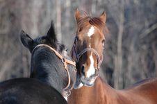 Free Horses Mares Stock Photo - 3555980
