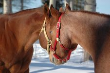 Free Two Quarter Horse Mare Royalty Free Stock Image - 3555986