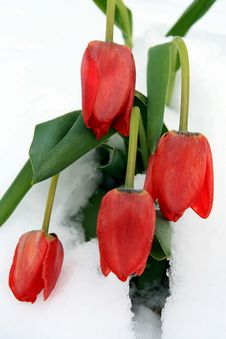 A Bunch Of Red Tulips In Fresh Snow Stock Photo