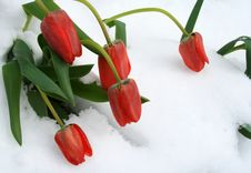 A Bunch Of Red Tulips In Fresh Snow Stock Image