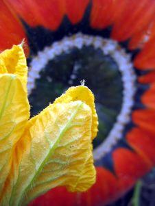 Free Pumpkin Flower Stock Photo - 3556080
