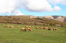 Free Sheep Stock Photo - 3557420