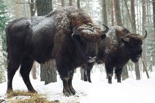 Free The Bisons Royalty Free Stock Photography - 3557917