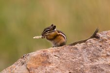 Free Dining Chipmunk Stock Image - 3558451