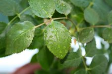 The Leaf Of Rose Stock Photography