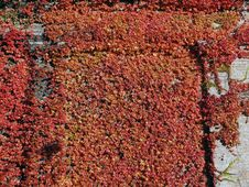 Free Ivy Climbing On A Wall Stock Photos - 3559453