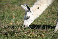 Free Grazing Emu Royalty Free Stock Photography - 3559547