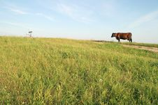 Free Brown Cow Stock Image - 3559661