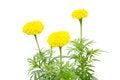Free Marigold Royalty Free Stock Photo - 35513035
