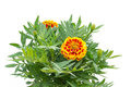 Free French Marigolds Royalty Free Stock Photos - 35513288