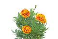 Free French Marigolds Royalty Free Stock Photo - 35513845