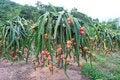 Free Dragon Fruit Garden Stock Image - 35514021