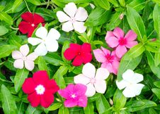 Free Periwinkle Or Madagascar Flowers Stock Photo - 35511780