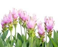 Free Siam Tulip Royalty Free Stock Photo - 35512755