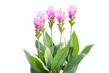 Free Siam Tulip Royalty Free Stock Photos - 35512818