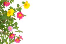 Free Portulaca Flower Royalty Free Stock Images - 35513249