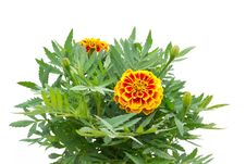 French Marigolds Royalty Free Stock Photos