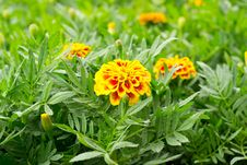 French Marigold Stock Image