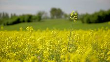 Rape Field Canola In Summer Stock Photography