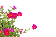 Free Portulaca Flower Stock Images - 35513434