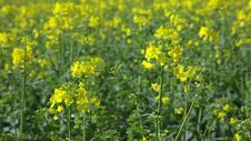 Rape Field Canola In Summer Stock Photo