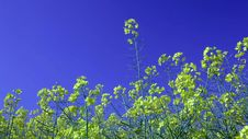 Rape Field Canola In Summer Blue Sky Royalty Free Stock Photo