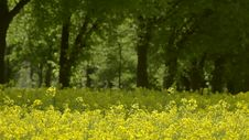 Free Rape Field Canola In Summer Stock Photos - 35513743