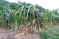 Dragon Fruit Garden Stock Image