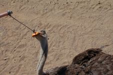 Ostrich Eating An Orange Stock Image